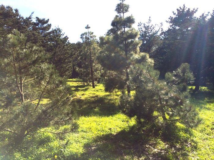 Wfp_pine_trees